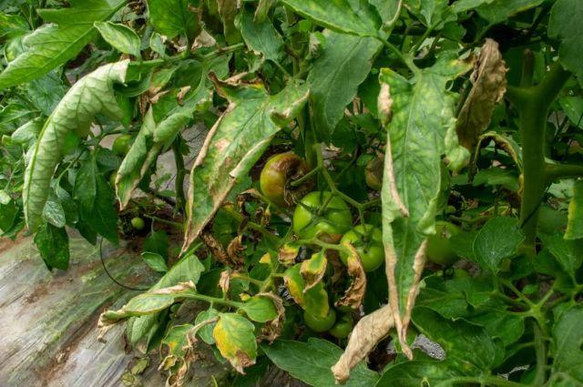 Fructe de tomate atacate de mana