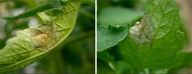 Mana tomatelor vizibila pe frunze