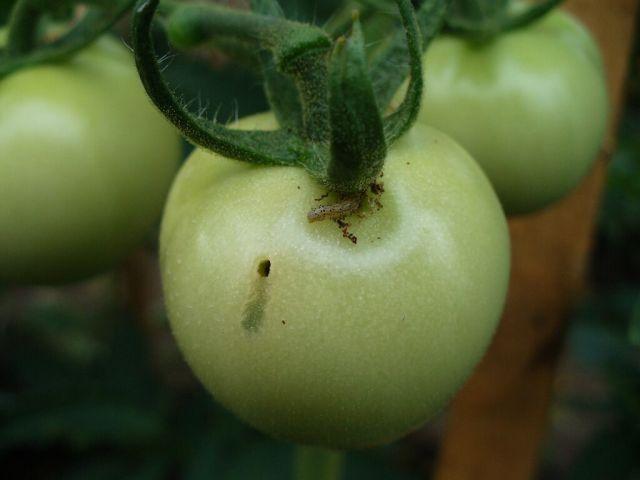 Omida fructelor la tomate
