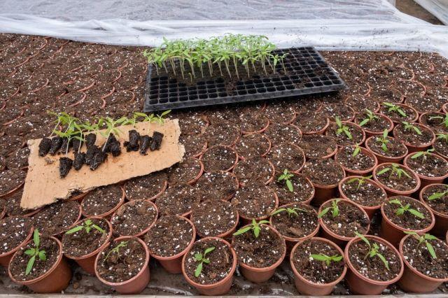 Repicarea rasadurilor de legume