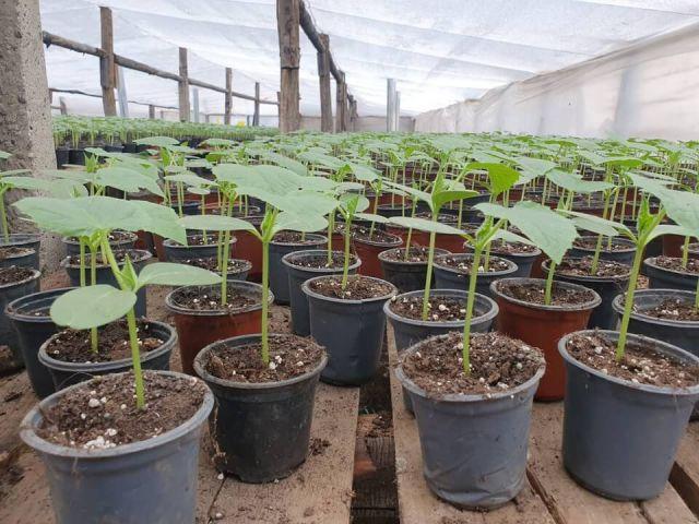 Rarirea rasadurilor de legume