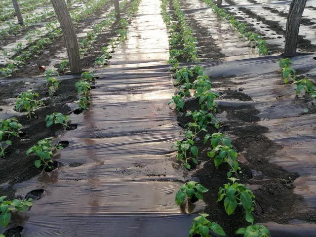 Irigarea si fertilizarea rasadurile in sere si solarii