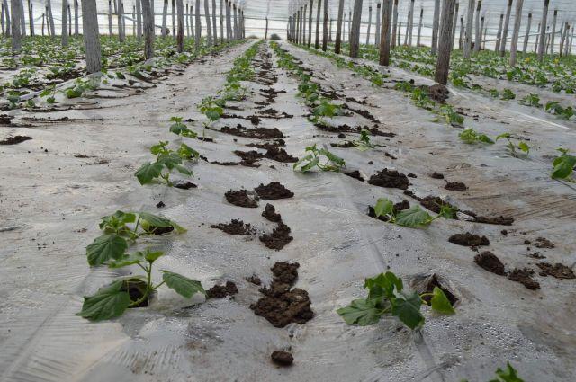 Distanta de plantare a rasadurile in sere si solarii