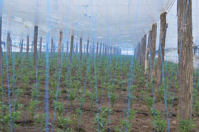 Palisarea rasadurilor de legume cu sfoara