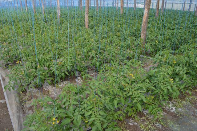 Paliseara tomatelor cu sfoara