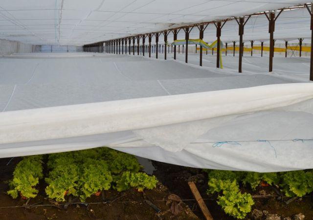 Protejarea culturii de salata cu folie microporoasa