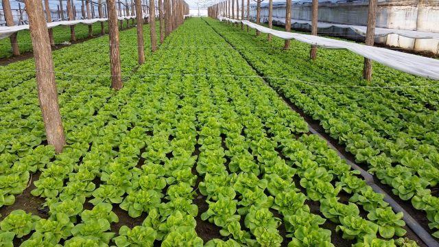 Cultura de salata in solar