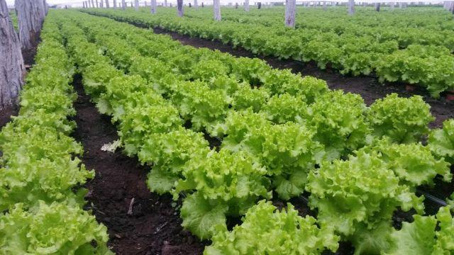 Cultura de salata creata in solar