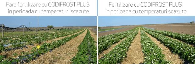 Cum protejam plantele de inghet cu ingrasamantul Codifrost Plus?