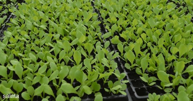 Cum protejam salata de inghet?