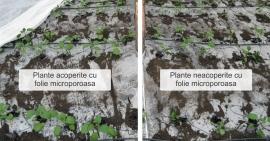 Protejarea culturilor cu folie microporoasa tip agril