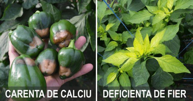Fertilizarea foliara, carente de calciu si fier