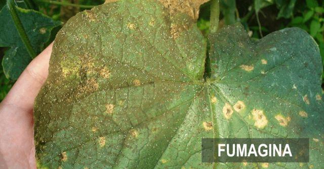 Fertilizarea foliara fumagina