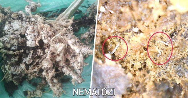 Dezinfectie de Nematozi