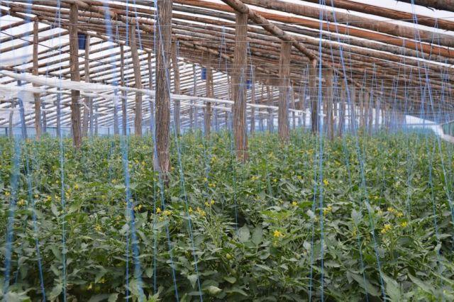 Cultura de tomate inflorita