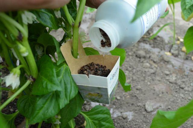 Aplicare insecte biologice in cultura