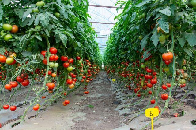 Cultura de tomate in solar pe ciclul doi