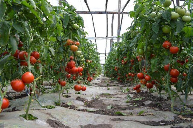 cultivarea rosiilor in sere
