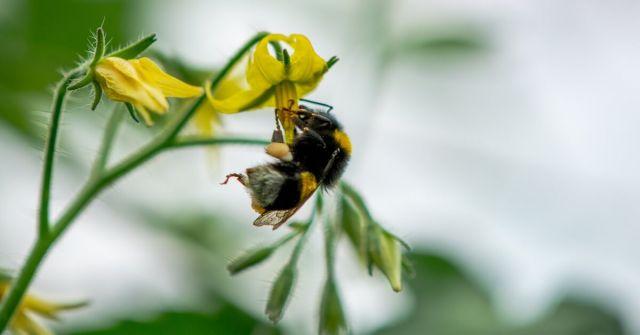 Utilizarea bondarilor pentru polenizare