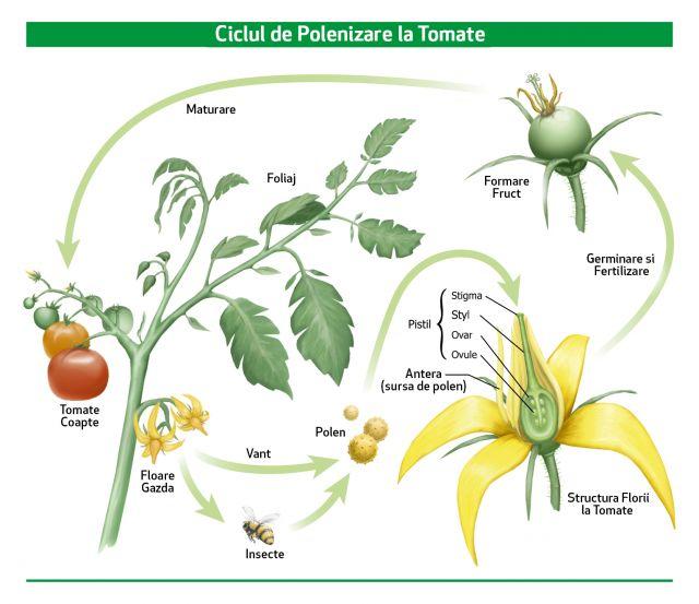Polenizarea si ciclul de formare a fructelor la tomate