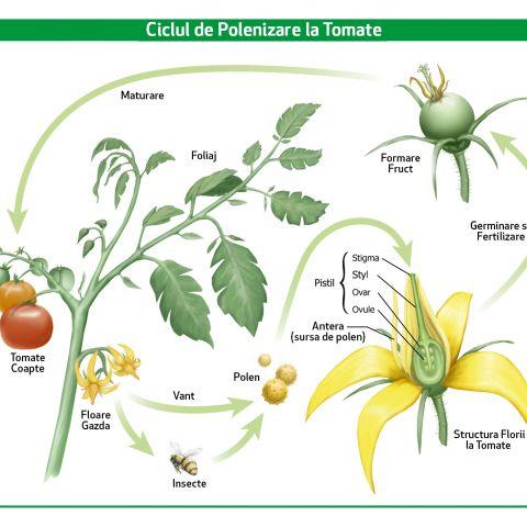 tomatele beneficiază de pierdere în greutate