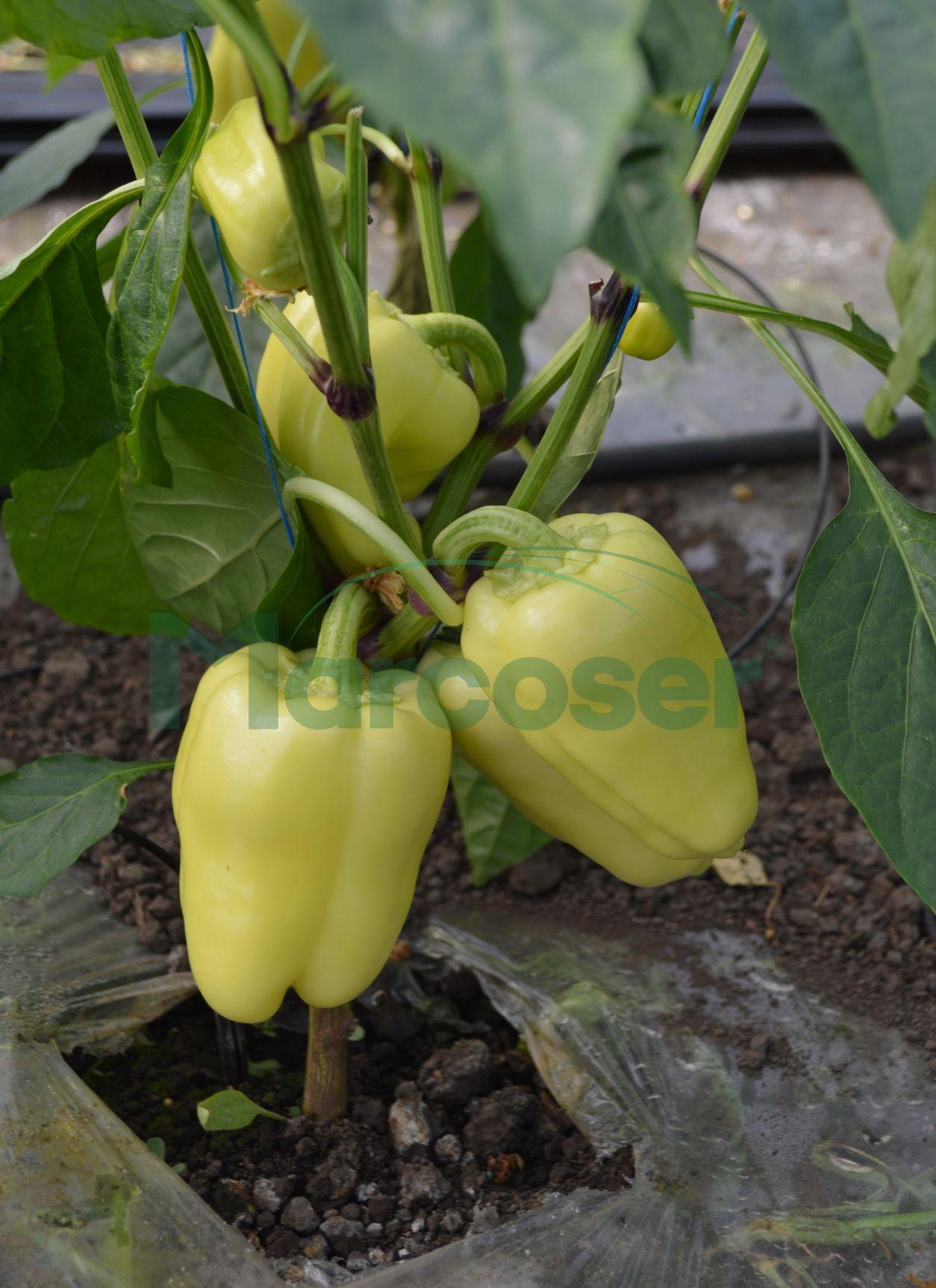 Bernita F1 - ardei gras galben rezistent cu coacere in rosu