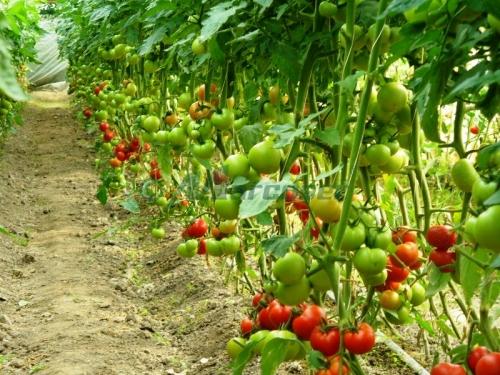 seminte de rosii pentru solar